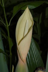 Araceae family