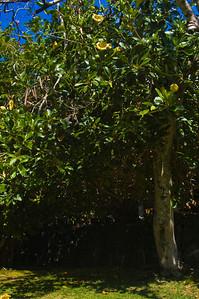 Golden Cup flower tree