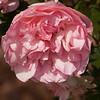 Rose-07132014-120250(f).jpg
