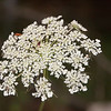 Queen Anne's Lace-07132014-120317(f).jpg