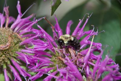 Bee Balm-07082010-070930(F)