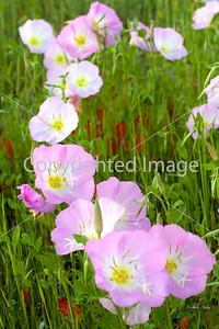 Pink Evening Primrose (Oenothera speciosa 'Rosea')