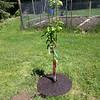 Pear Tree-05252013-121227.jpg