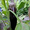 2014 Vegetable Garden-Eggplant-08092014-164113(f).jpg