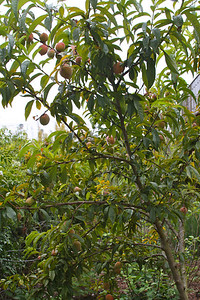 Peach tree on the first level