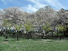 Cherry Blossoms in Washington DC - April 2005  - love to have your comments!