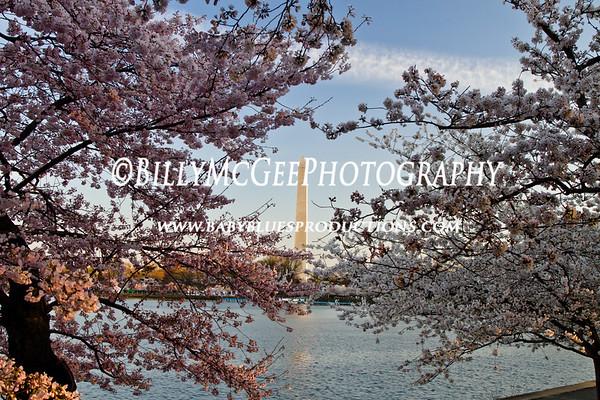 Cherry Blossom Festival - 26 Mar 11