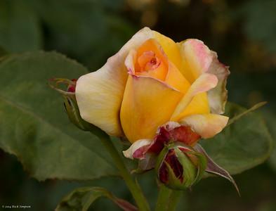 Washington Park Roses