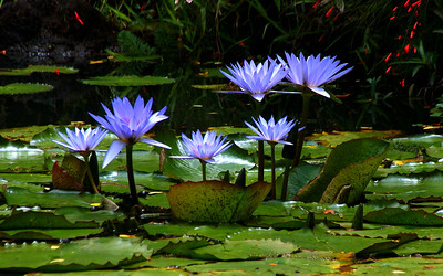 Purple Water LilysWater lilies were photographed on the North Shore of O'ahu, Hawai'iFreshwater plants of the family Nymphaeaceae