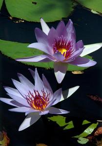 Lavender Water LilysNymphaea Subgenus Hydrocallis