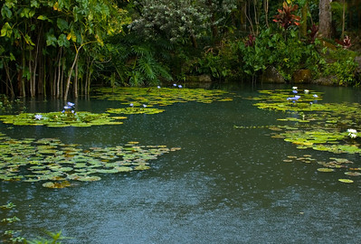 Water lily pond during a light rain  A pond with star-shaped water lilies is magical and romanticMost water lilies open for three days in succession, closing at night. Night blooming tropicals open those three days but from evening to mid-morning.  Water lilies were photographed on the North Shore of O'ahu, Hawai'i  Freshwater plants of the family Nymphaeaceae