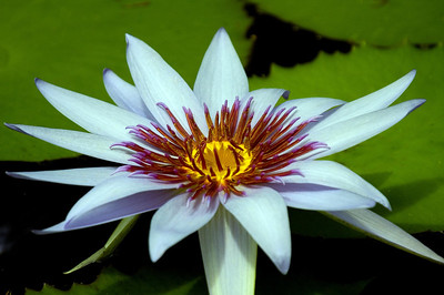 White water lilyWater lilies were photographed on the North Shore of O'ahu, Hawai'iFreshwater plants of the family Nymphaeaceae
