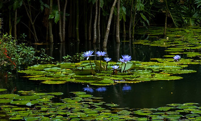 Water Lily Pond  Fragrant water lilies are one of the most easily recognized of all the aquatic plants. The many-petaled flowers float on the water's surface surrounded by large, round green leaves. Water lilies were photographed on the North Shore of O'ahu, Hawai'iFreshwater plants of the family Nymphaeaceae