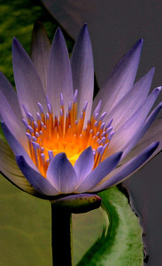 Lavender Water Lily  Fragrant water lilies are one of the most easily recognized of all the aquatic plants. Beautiful large white or occasionally pink many-petaled flowers float on the water's surface surrounded by large, round green leaves. Water lilies were photographed on the North Shore of O'ahu, Hawai'iFreshwater plants of the family Nymphaeaceae