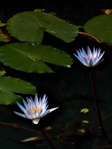 White Water LilysWater lilies were photographed on the North Shore of O'ahu, Hawai'iFreshwater plants of the family Nymphaeaceae