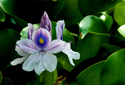 Water hyacinth is a free-floating perennial plant   Eichhoria crassipes