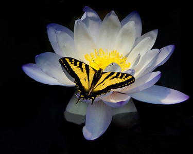 Swallow-tail Butterfly on Water Lily