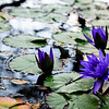 purple trio