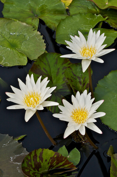 Water Lilies, and related