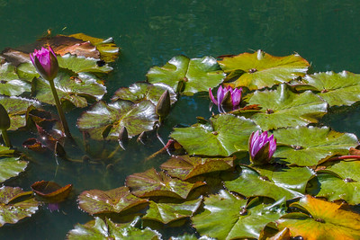 Broadleaf water lily