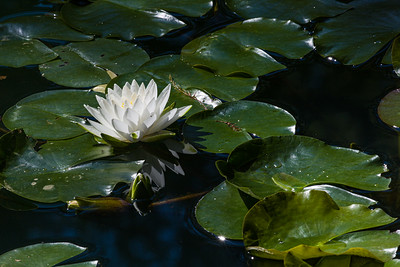 fragrant white water lily
