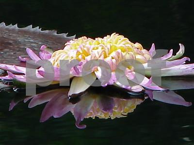 Waterlilies 2008