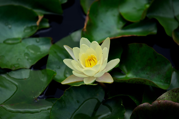 #Waterlily