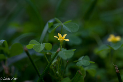 Small yellow flower in the shamrock like weeds.