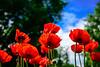 Poppies, Ninebark, Peony, Iris, Goatsbeard (3 of 34)