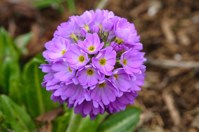 Hyacinths and Primulas-23