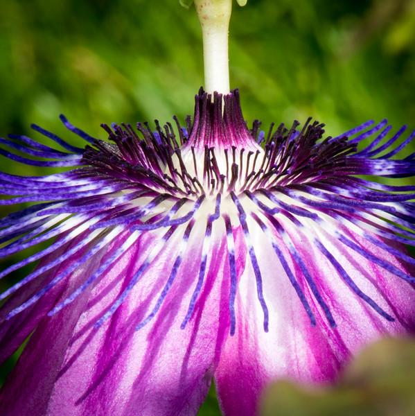 Passion flower vine (12 of 16)