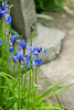 Siberian Iris. With a name  like that, it should and does survive the typical Cdn winter quite nicely.