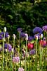 Alliums, like ornamental onions.