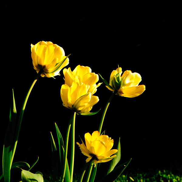 Tulips, Daffodils, Trilliums, Pasque flower-6