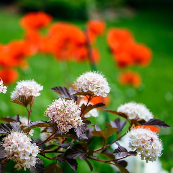Poppies, Ninebark, Peony, Iris, Goatsbeard (10 of 34)