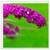 Butterfly bush 04