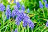 Grape Hyacinths-7