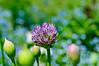 Tulips, Peony, Allium-62