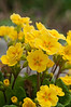 Daffodils and Primulas-8