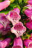 Foxglove and raindrops-1