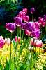 Tulips and alyssum-10