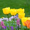 Tulips-8
