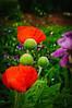 Iris, Poppies, Peony-43