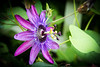 Passionflower (2 of 3)