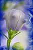 Balloon flower-4 frame