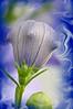 Balloon flower-4 frame