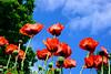 Poppies, Ninebark, Peony, Iris, Goatsbeard (2 of 34)