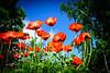 Poppies, Ninebark, Peony, Iris, Goatsbeard (1 of 34)