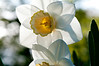Daffodils-6