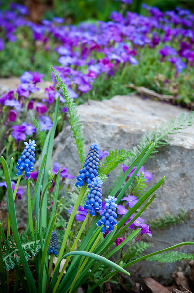 Grape Hyacinth-4